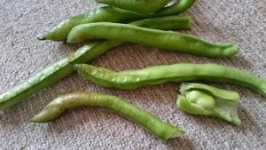 カンタン家庭療育 家庭菜園でそらまめ収穫